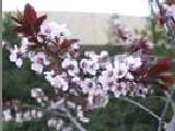 Flores de Bach para los que sienten miedos Cherryplum